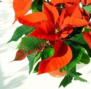 kwiaty, kwiaciarnia, kwiaciarnia internetowa, kwiaty online, kwiaciarnia online , poczta kwiatowa, wigilia, kwiaty na wigilię